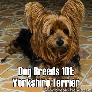 Dog Breeds 101 - Yorkshire Terrier
