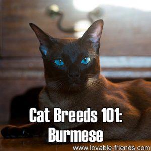 Cat Breeds 101 - Burmese