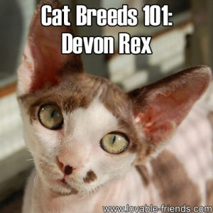 Cat Breeds 101 - Devon Rex