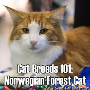 Cat Breeds 101 - Norwegian Forest Cat