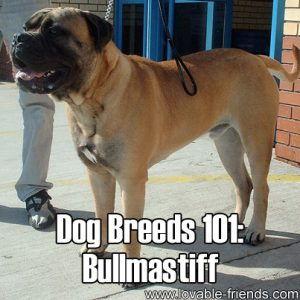 Dog Breeds 101 - Bullmastiff