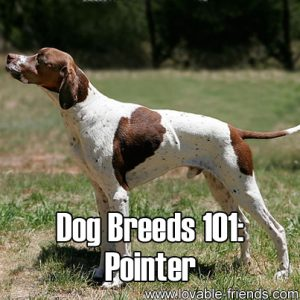 Dog Breeds 101 - Pointer