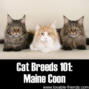 Cat Breeds 101 - Maine Coon