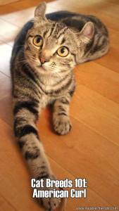 Cat Breeds 101 - American Curl
