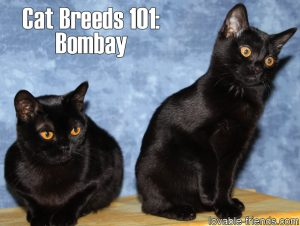 Cat Breeds 101 - Bombay