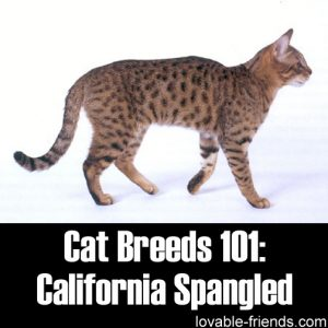 Cat Breeds 101 - California Spangled