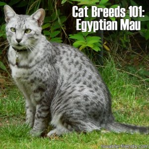 Cat Breeds 101 - Egyptian Mau