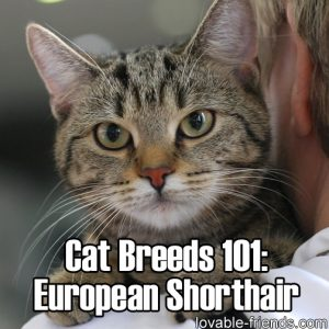 Cat Breeds 101 - European Shorthair