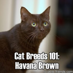 Cat Breeds 101 - Havana Brown