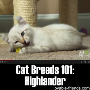Cat Breeds 101 - Highlander
