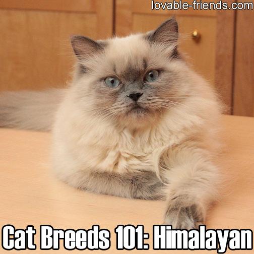 Cat Breeds 101 - Himalayan