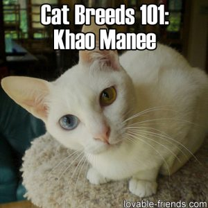 Cat Breeds 101 - Khao Manee