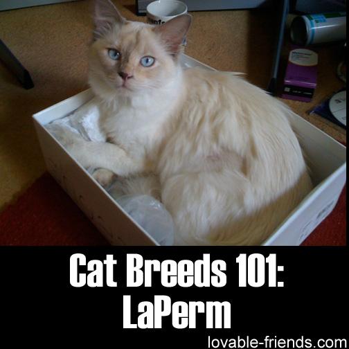 Cat Breeds 101 - LaPerm