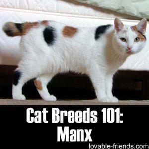 Cat Breeds 101 - Manx