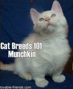Cat Breeds 101 - Munchkin