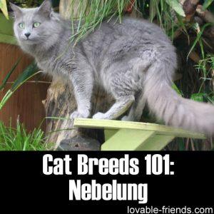 Cat Breeds 101 - Nebelung