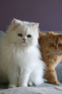 Cats Breeds 101 - Persian