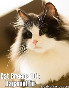 Cat Breeds 101 - Ragamuffin