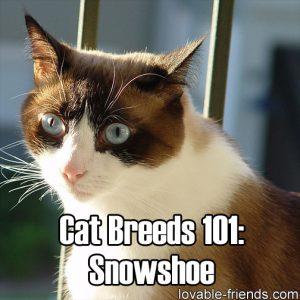 Cat Breeds 101 - Snowshoe