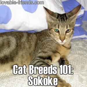 Cat Breeds 101 - Sokoke