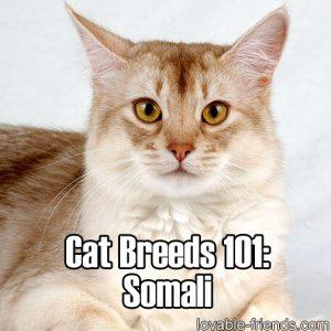 Cat Breeds 101 - Somali