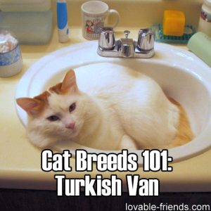 Cat Breeds 101 - Turkish Van