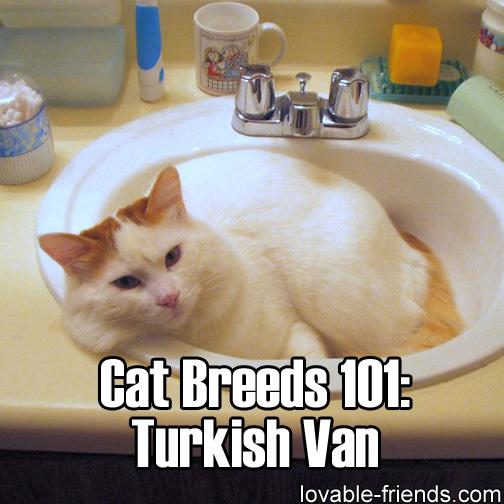 Cat Breeds 101 - Turkish Van