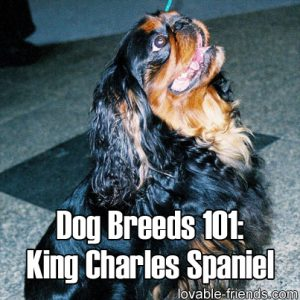 Dog Breeds 101 King Charles Spaniel