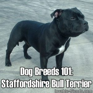 Dog Breeds 101 Staffordshire Bull Terrier