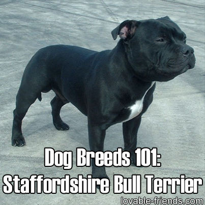 Dog Breeds 101: Staffordshire Bull Terrier – Image To Repin / Share