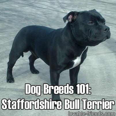 Dogs 101 Bull Terrier for Pinterest