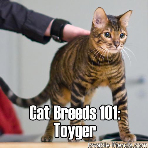 Cat Breeds 101 - Toyger