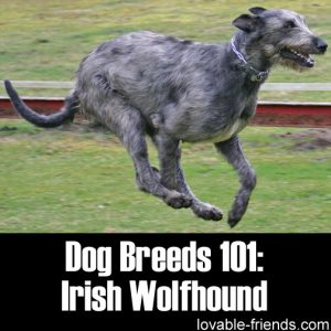 Dog Breeds 101 - Irish Wolfhound