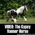 Video: The Gypsy Vanner Horse